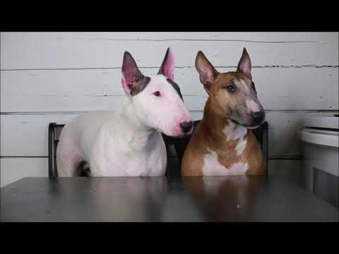 Bull Terrier Foodies~ Trying All The Snacks