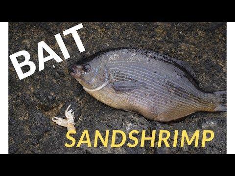 Pump Your Own Bait - Sand Shrimp During Low-tide OREGON COAST