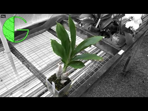 Catasetum Summer Growth • Orchid Chat 14 July 2019 (Part 1)