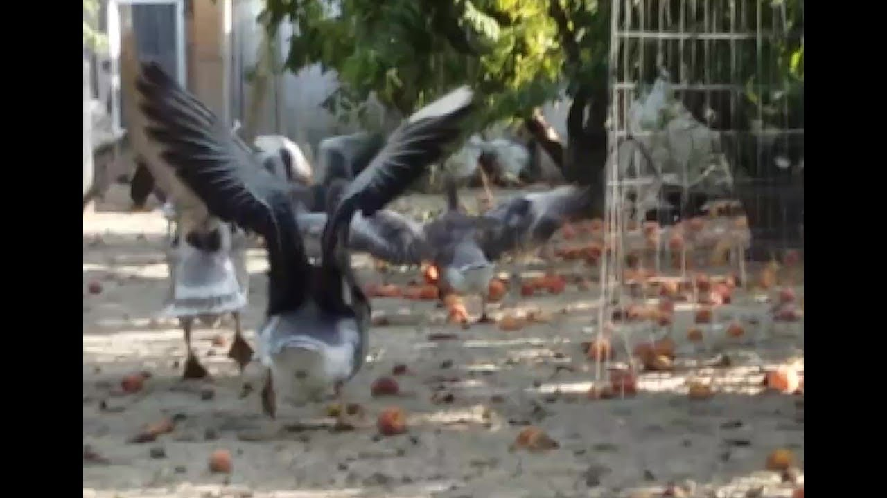 Toulouse Geese Fly And Feeding In The Backyard Farma Skydra Gr