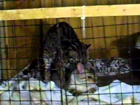 Asian leopards for sale opinion you