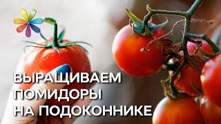видео Помидоры на балконе: правильное выращивание