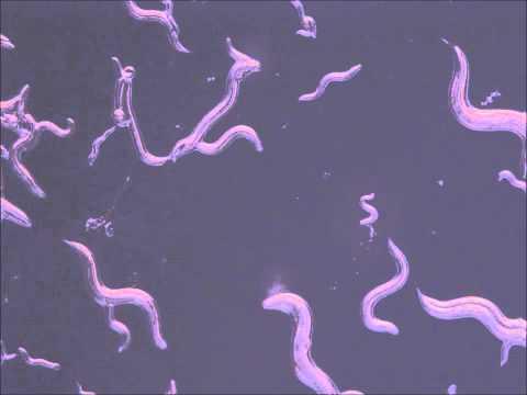 Nematode - Ecdysoza Branch of Protostomes