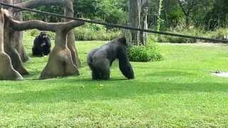 Miami Zoo Gorilla snack time