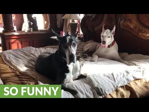 Great Danes take over owner's king size bed