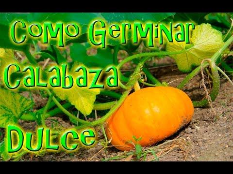 Como Germinar Semillas De Calabaza Dulce México Verde Youtube