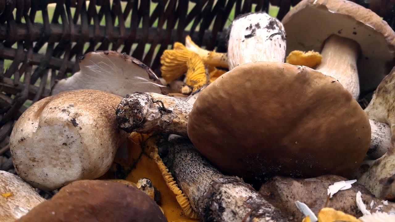 есть ли сейчас грибы в барыбино