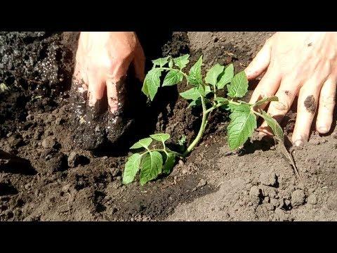 Правильно садим рассаду томатов, помидоров.