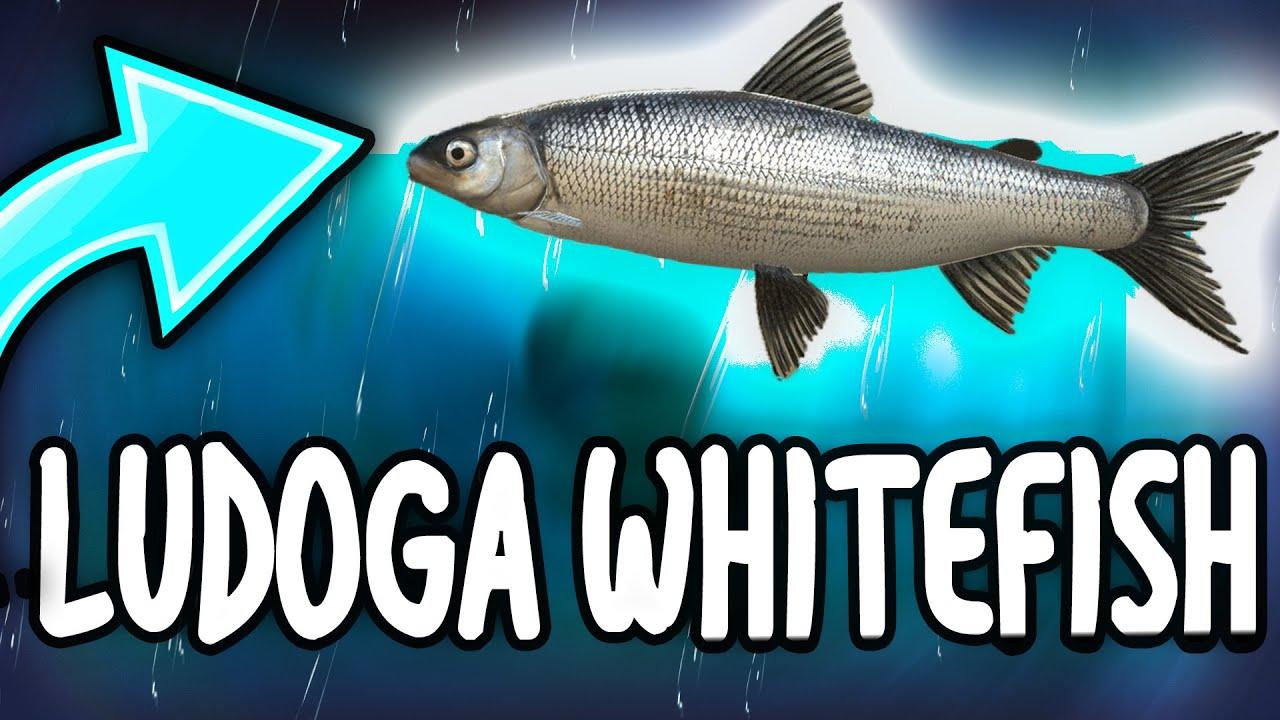 PECAMO LUDOGA WHITEFISH - LADOGA LAKE - Russian Fishing 4 ...