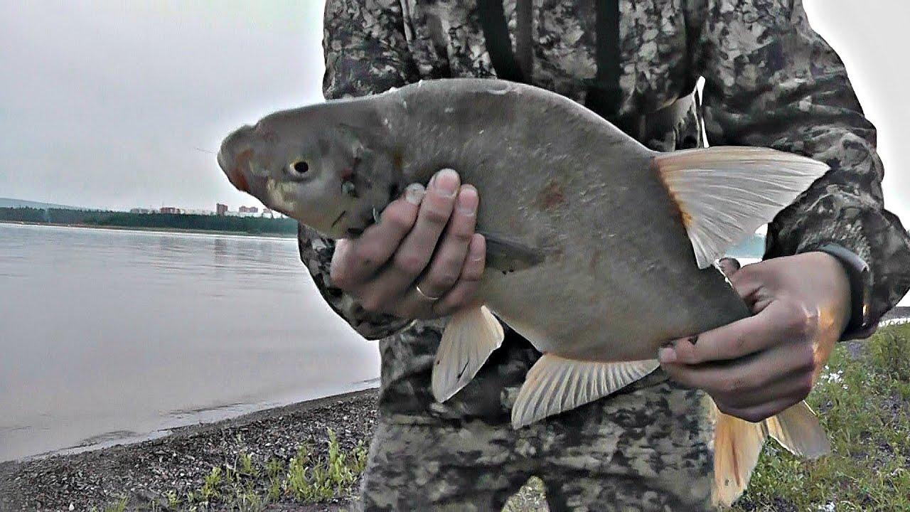 Лещ на зеленку. Рыбалка на фидер после работы. Ловля леща в августе