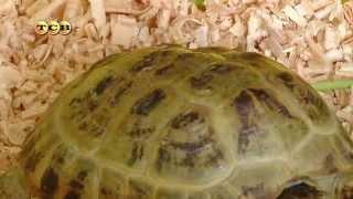 Черепаха в домашних условиях(Каждый из нас хоть однажды оказывался перед непростой дилеммой: заводить или нет домашнее животное. А если..., 2014-11-07T09:53:05.000Z)