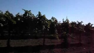 Виноградники вин завода   Фанагории.