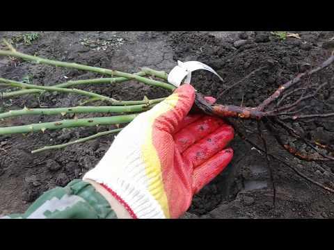 Как правильно посадить розы осенью. rozapochtoi.ru