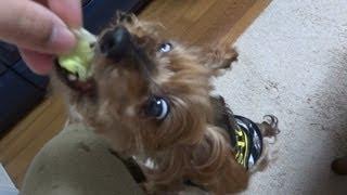 vegetarian dog robs me of lettuce!? 愛犬がレタスを強奪する。 yorksh...