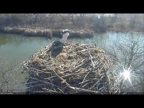 2018 03 13 Raven flees incoming osprey - Boulder County Osprey Cam