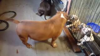 Download Video American Bully Kennel Royal Kennels. Diesel,  Diamond  and Royal Kennels Sole' playing this morning. MP3 3GP MP4