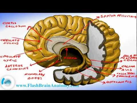 Brain Anatomy - Brain Fornix and Ventricle Anatomy