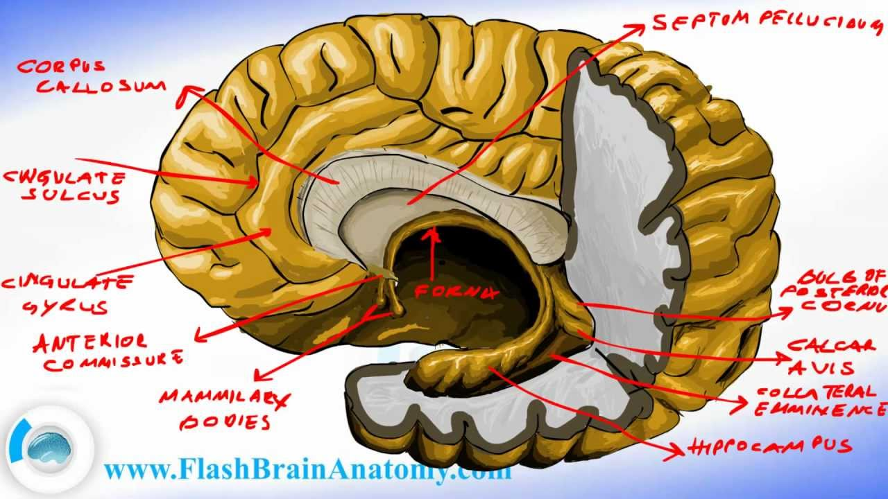 Brain Anatomy - Brain Fornix and Ventricle Anatomy - YouTube