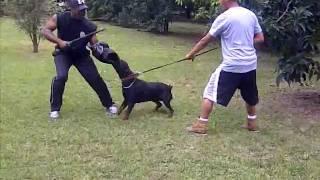 Rottweiler Sasha Protection Training - K9 Enforcement Training