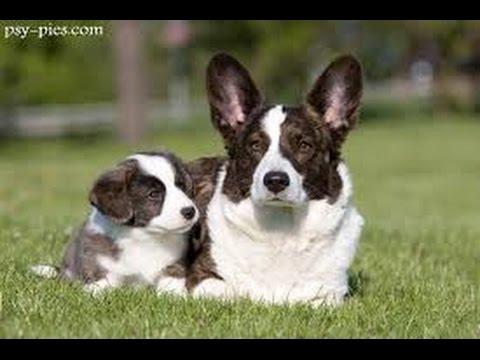 Welsh Corgi Cardigan - Dog Breed