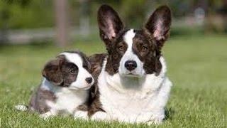Welsh Corgi Cardigan / Dog Breed