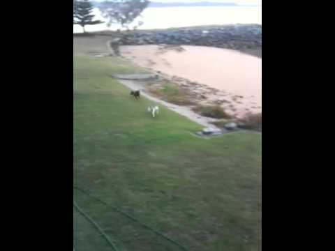 crazy-dogs-run-round-in-circles