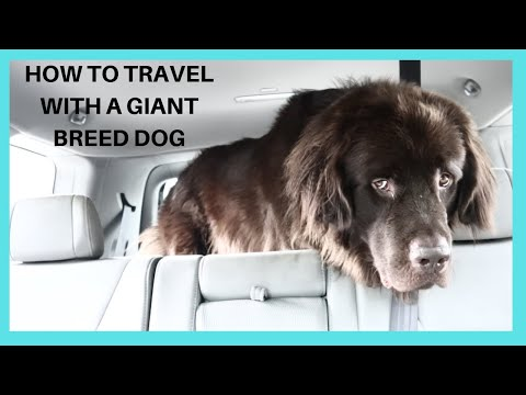 How To Travel With a Newfoundland Dog / Large Breed Dog / Meet Doug
