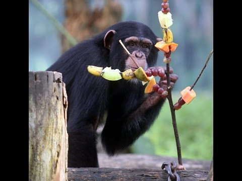 Julie the `human' chimpanzee turns five