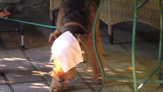 Airedale Terrier Aus Wien