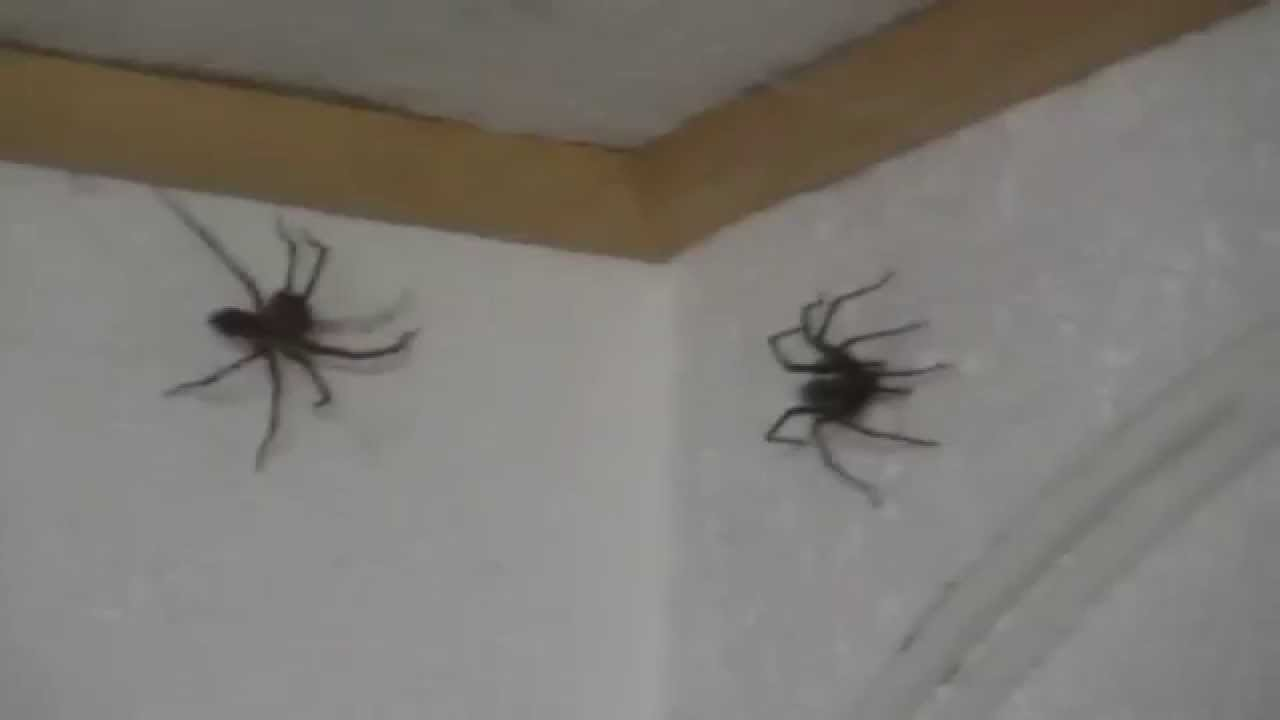 spider attack in my office 2 fette spinnen im b ro youtube. Black Bedroom Furniture Sets. Home Design Ideas