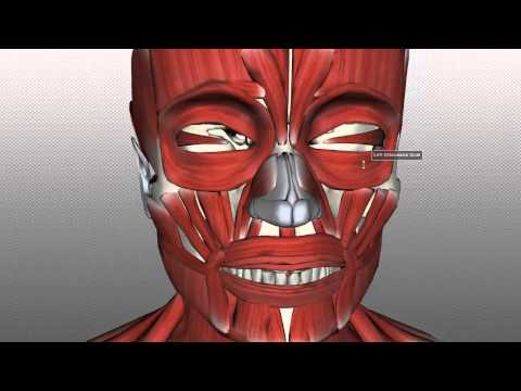 Muscles of Facial Expression - Anatomy Tutorial PART 1
