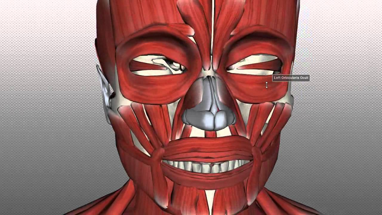 Action of facial muscles really