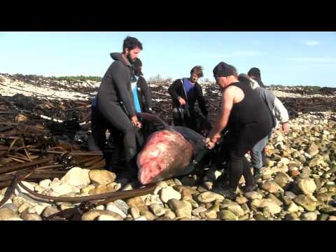 Dead great white shark retrieved from Dyer Island, Gansbaai | Dyer Island Conservation Trust