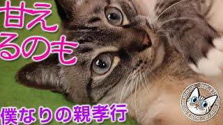 ジャンくんがものすごく甘えるのはパパへの親孝行です 【Jean & Pont 2516】2021/6/14 保護猫ジャンけんポン