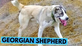 Georgian Shepherd Dog Breed  Facts and Information