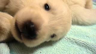 ホワイトスイスシェパードの仔犬生後14日目 父:ホワイトスイスシェパ...