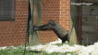 Lope The Gorilla Youngster Has Issues With The Door Flap