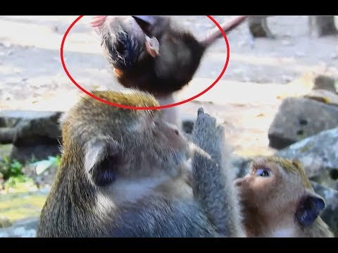 Nasty monkey Dolly do Very Bad on baby Brutus Jr Very Scare need mom Help baby.