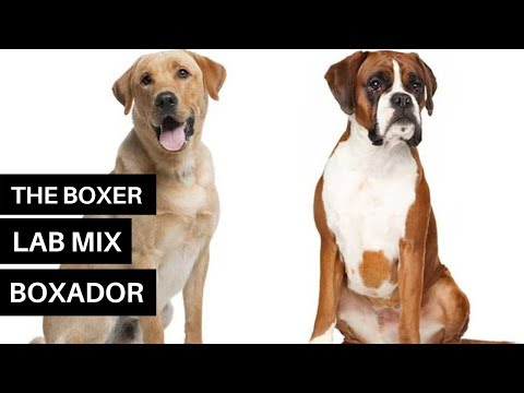 All About The Boxer Lab Mix – Meet The Playful Boxador