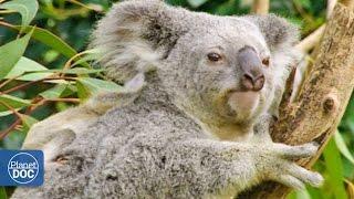 Koalas y Canguros | Australia