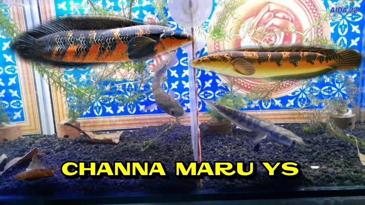 Beli Ikan Channa Maru Ys Yellow Sentarum Youtube