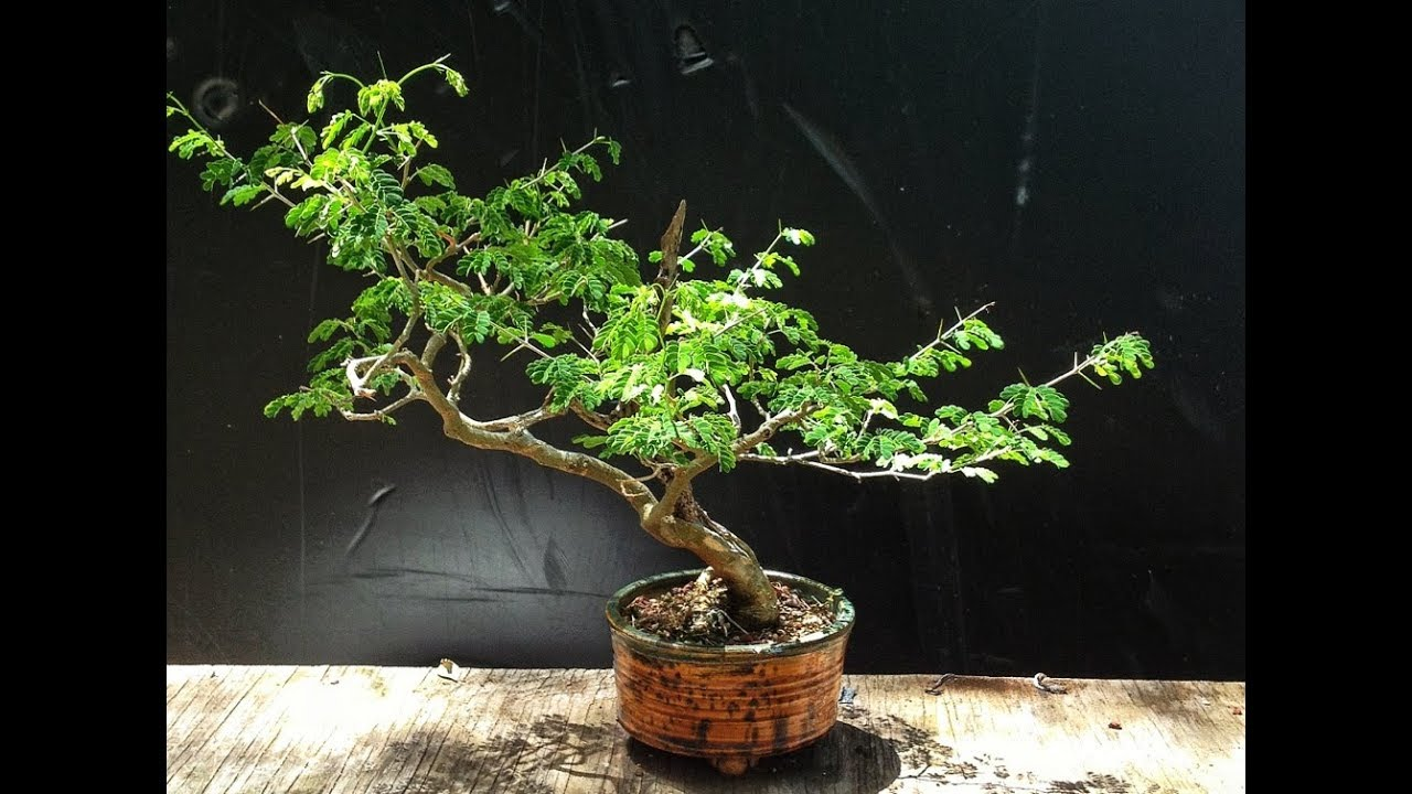 The Best Tropical Trees For Bonsai Brazilian Rain Tree Youtube