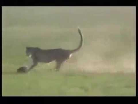 cheetah attack gazelle in 110 kph