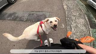 강아지 보행, 기다려 훈련 매너산책 하는 멍구
