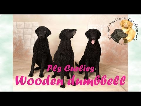 Curly Coated Retriever 1st time working with wooden/metal dumbbell