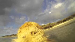 Dexta The Gopro Golden Retriever
