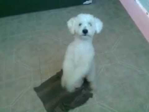 Perro French Poodle Youtube