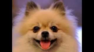 Train Your Pomeranian Not To Pee And Poo In The House