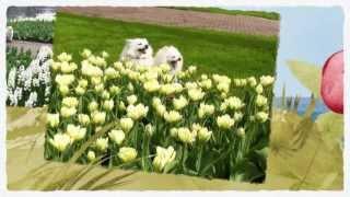 La dolce primavera del volpino italiano