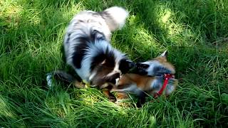 My sheltie Sam and her vixen-friend Gerda. It was an year ago, in J...